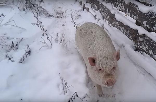 зимнее содержание свиней