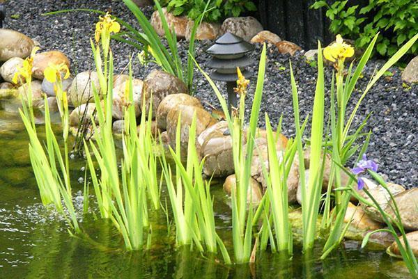 болотные ирисы