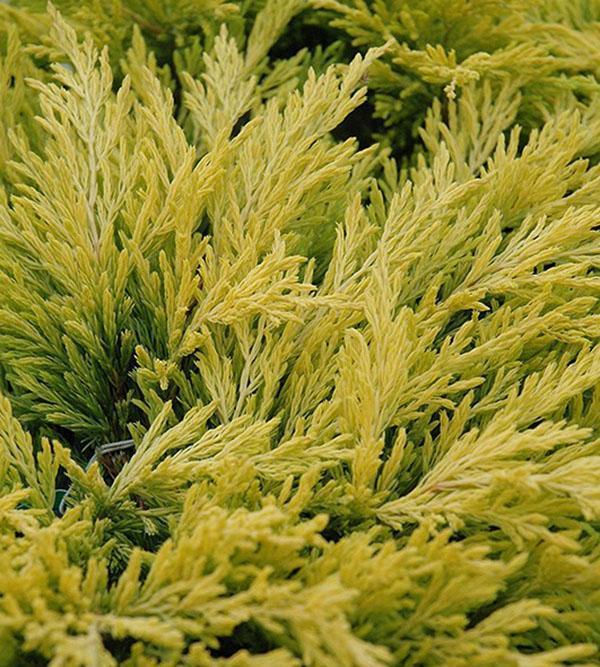 цвет хвои можжевельника лайм глоу