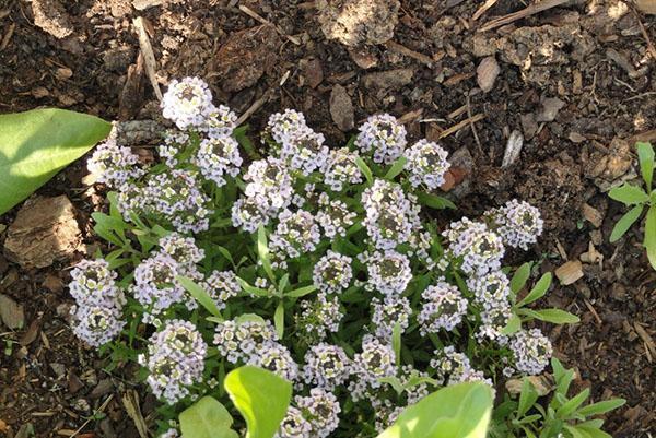 цветет алиссум
