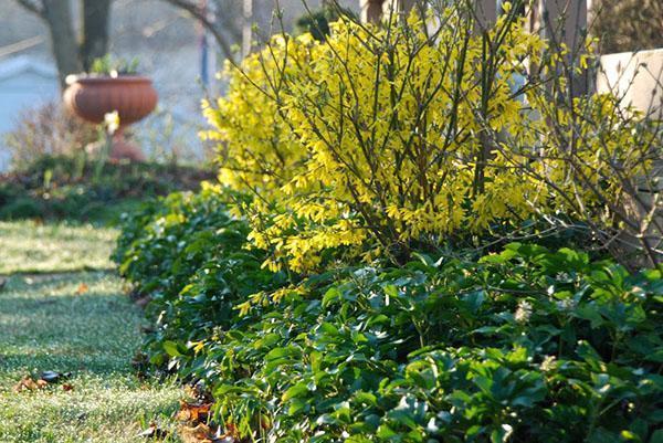 цветет форзиция в саду