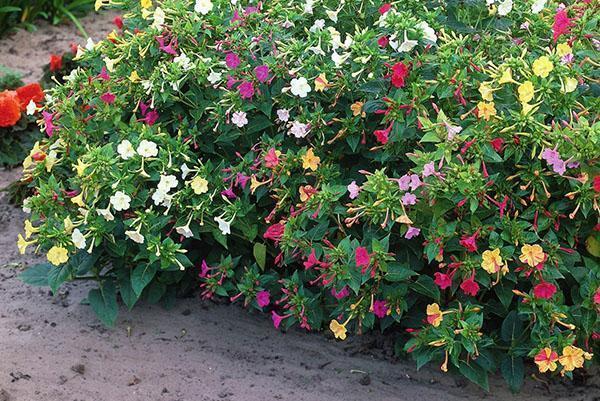 цветут мирабилисы