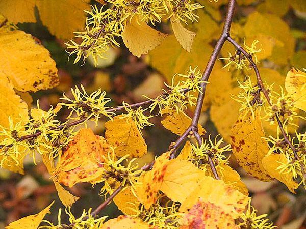 гамамелис виргинский осенью