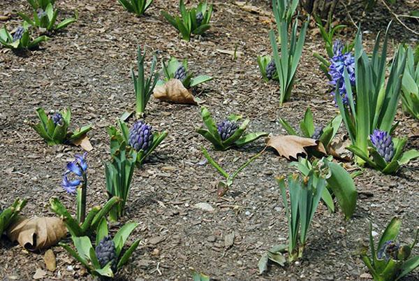 гиацинты ранней весной