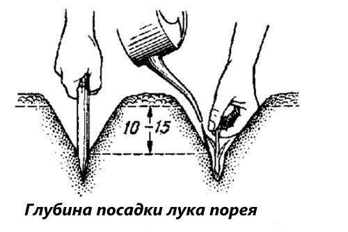 глубина посадки лука-порея