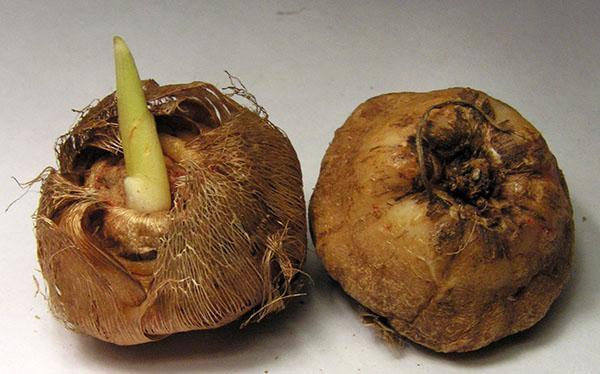 луковицы иксии перед посадкой