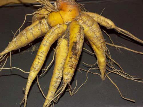 корни мирабилиса