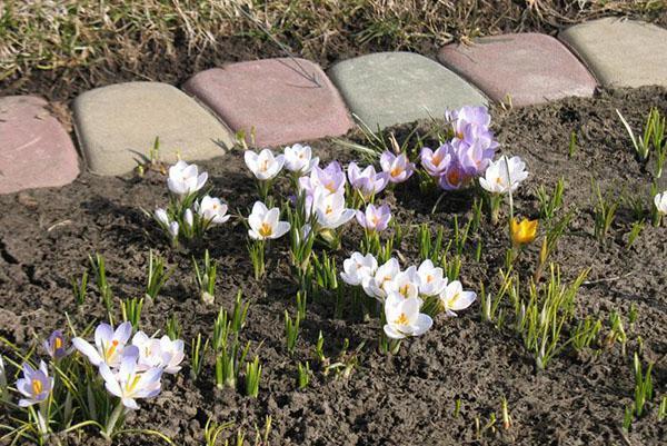 клумба с крокусами ранней весной