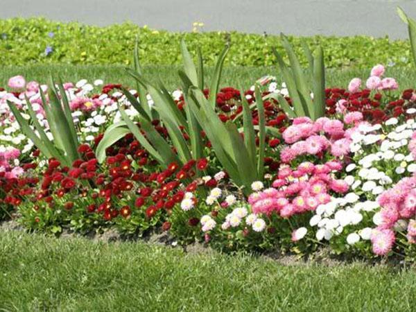 Маргаритки - посадка и уход в открытом грунте весной и осенью, когда сажать, видео