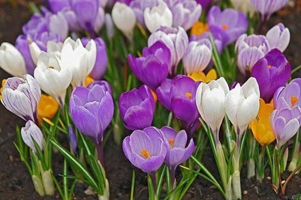 крокус крупноцветковый