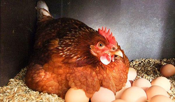 курица несушка