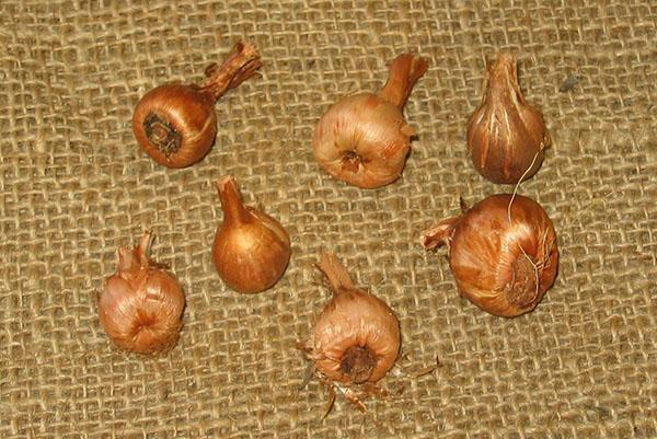 луковицы бабианы