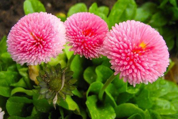 Многолетние цветы как их выращивать 11