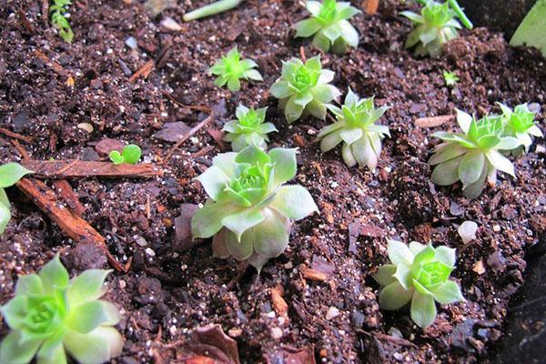 молодило из семян в открытом грунте