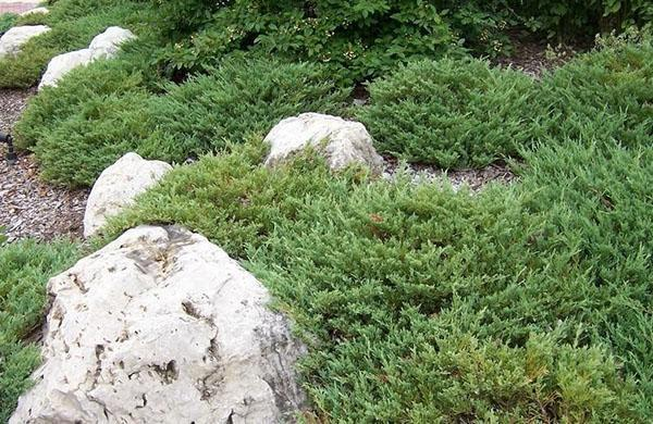 можжевельник Андорра Компакт в саду
