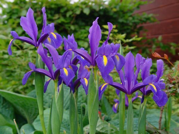 нежные ирисы в саду