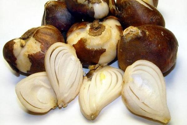 очищенные луковицы крокусов