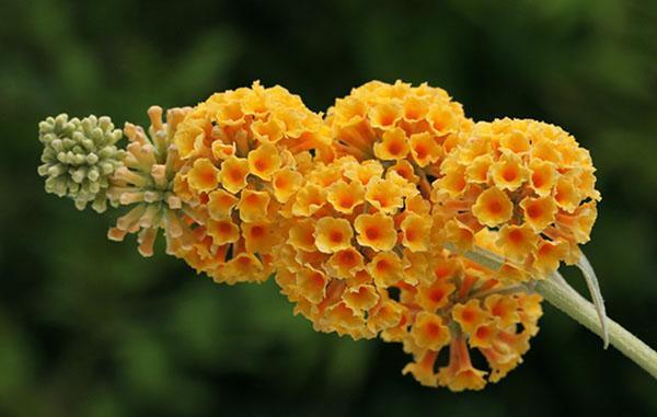оранжевые цветы будлеи