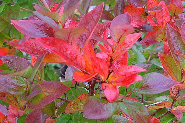 осенняя листва голубики высокорослой