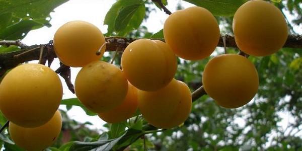 плоды гибридной алычи