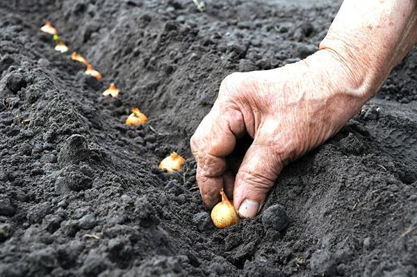лук севок посадка в открытый грунт