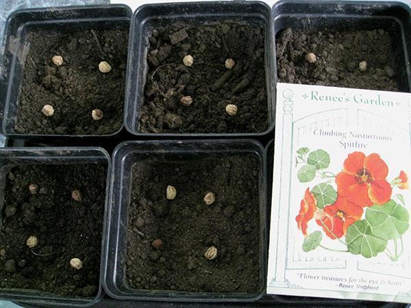 посев семян настурции в горшки