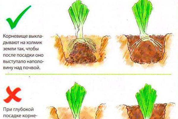 Ирисы как сажать луковицы 50