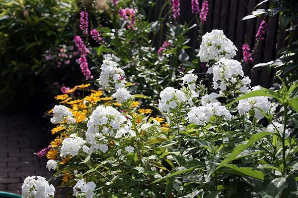 цветут белые флоксы
