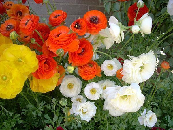 цветут ранункулюсы на клумбе