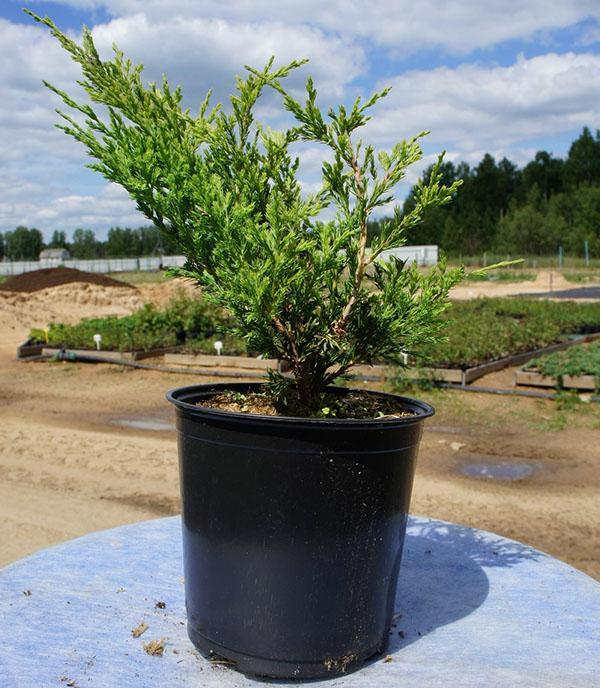 растение для посадки на участке