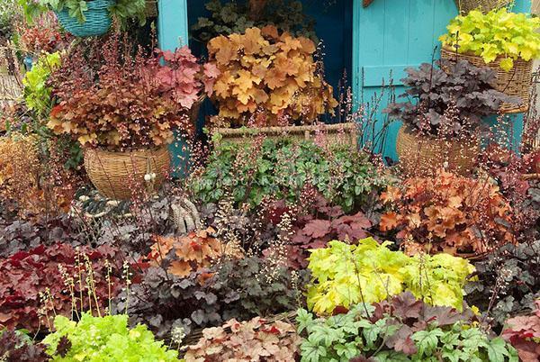 разнообразная гейхера в саду