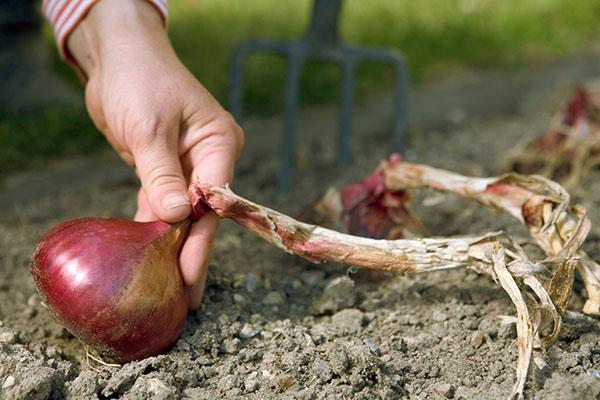 Как сажать лук? Как сажать лук на зелень? Как сажать лук