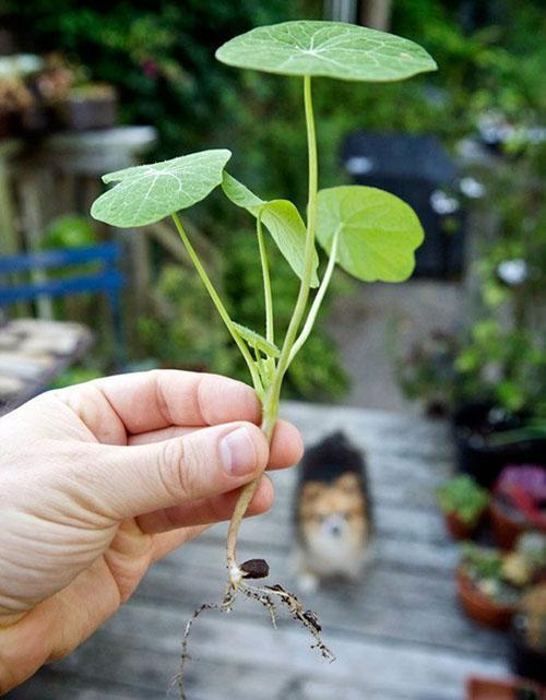 Выращивание настурции в грунте 21