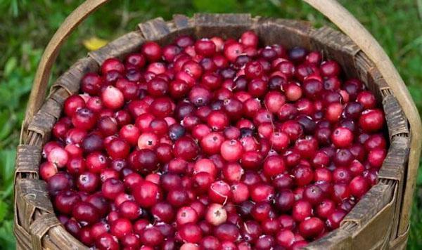 сбор ягод клюквы