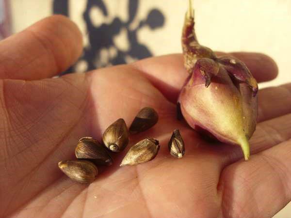 семена ипомеи