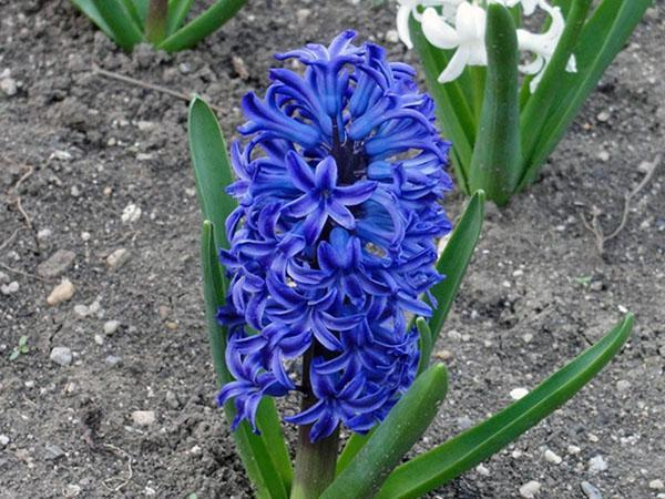 синий гиацинт Принц Артур