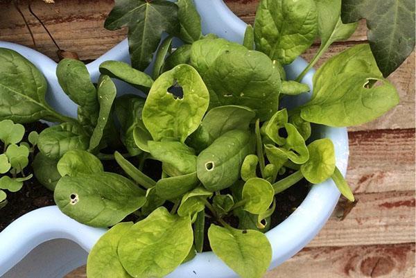 полезные сочные листья шпината