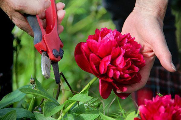 срезка цветов пиона