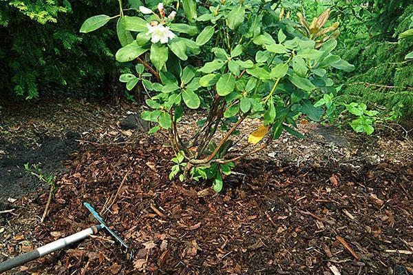 уход за рододендроном в открытом грунте