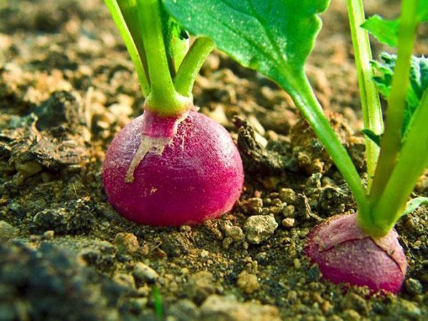 урожай редиса в открытом грунте