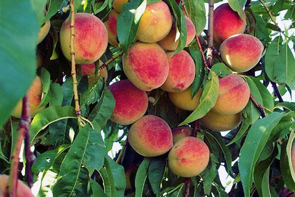 урожайность персиков
