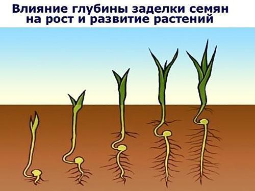 влияние глубины посадки семян редиса