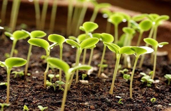 Как сажать семена кинзы в квартире 1