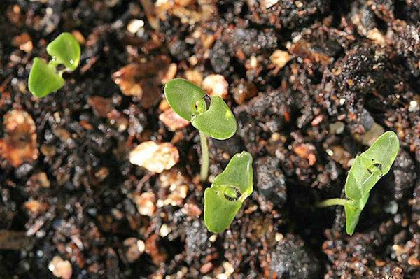 всходы семян лаванды