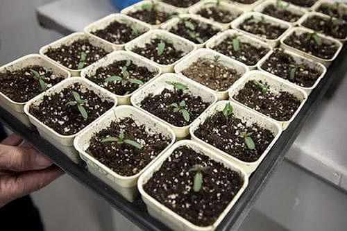 выращивание барвинка из семян