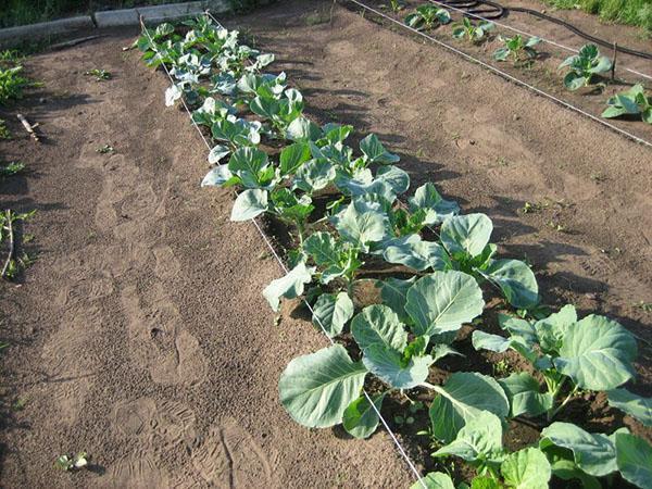 Выращивание капусты на урале в открытом грунте 962