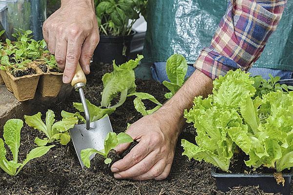 высадка салата