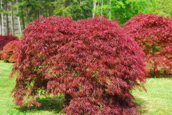 японский клен в осеннем саду