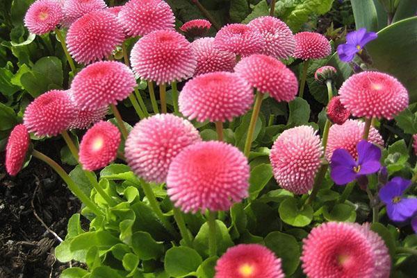 яркие цветы маргариток