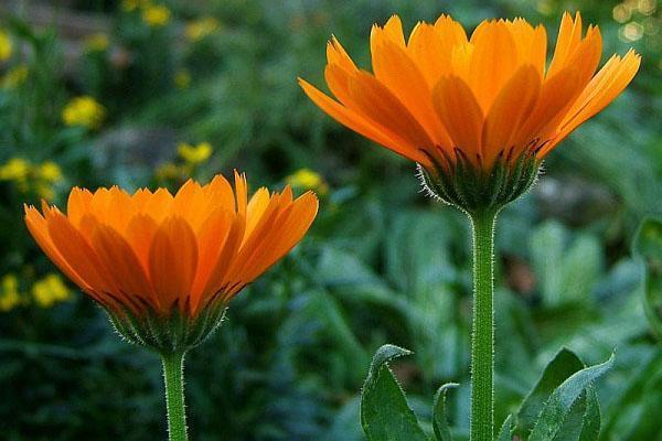 цветет лечебная календула